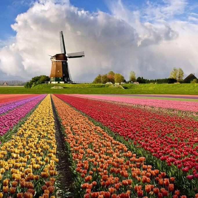 Dutch Flowerfields