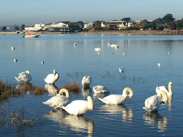 Swans in the harbour