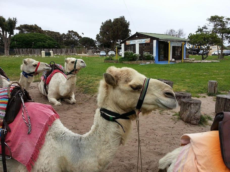 Camel Rides at Imhoff Farm