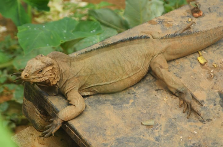 One of our Rhinosaurus Iguana's ..... part of our reintroduction program.