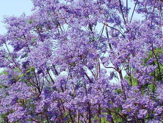 The beautiful Jacaranda trees in front and up and down the streets bloom in early Spring. This tree is just outside of the front of the house.
