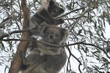 Look for Koalas on your walks.