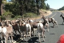 Roosevelt mountain sheep herd on road