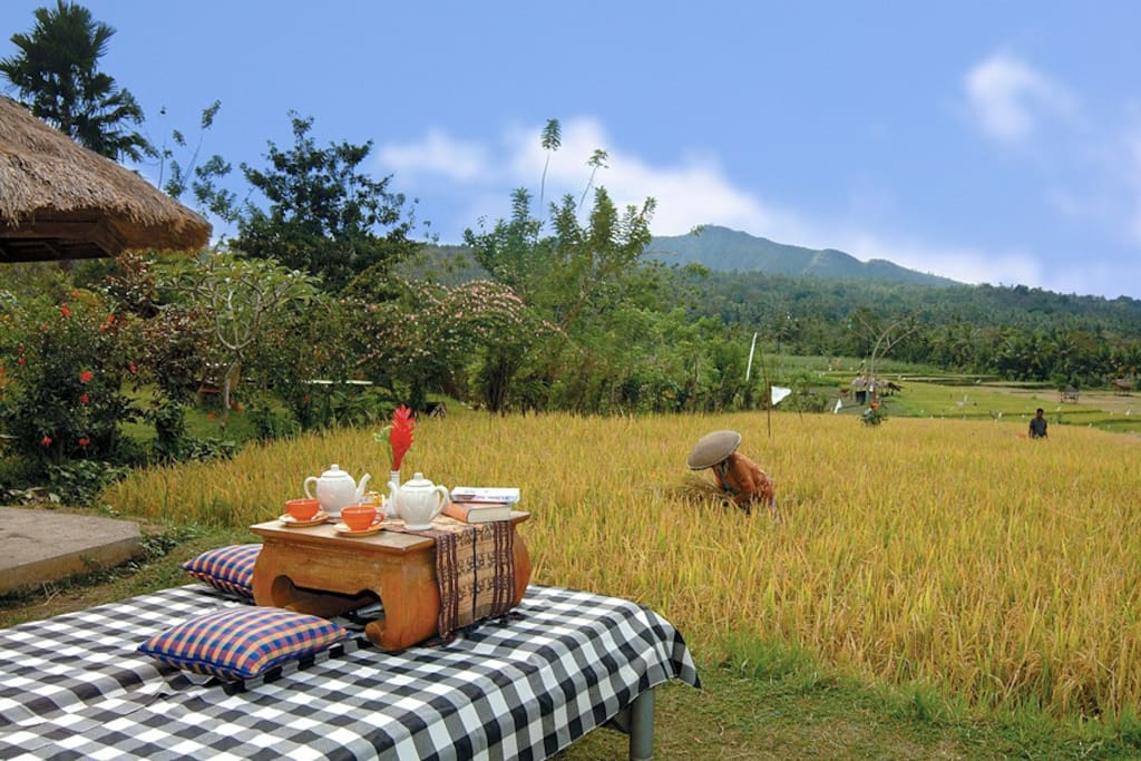 Harvest time at rice field in front of Puri Bagus Manggis