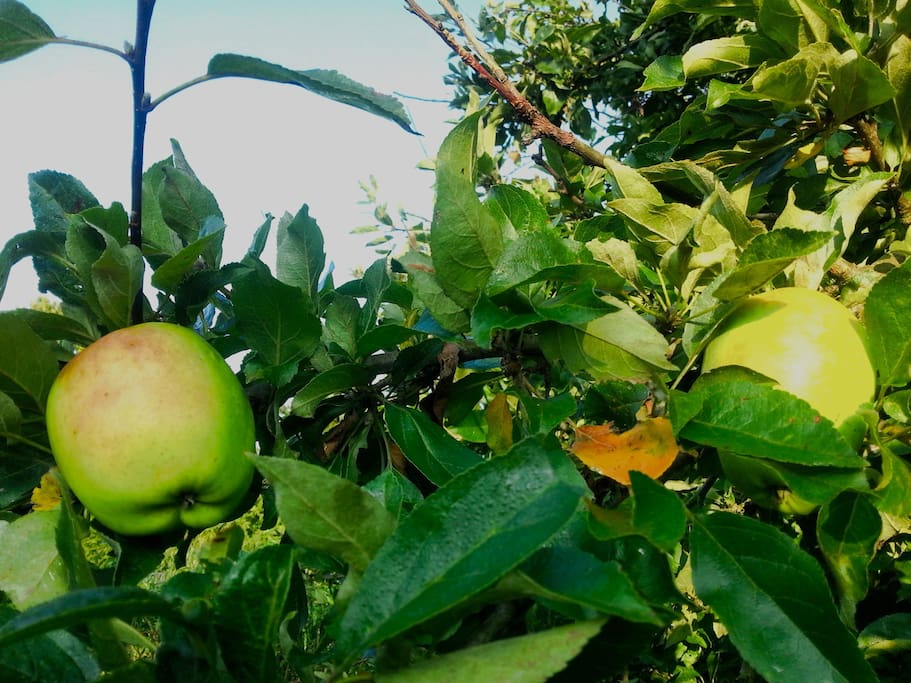 the apple trees in the garden