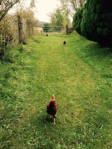 Some of our free range hens