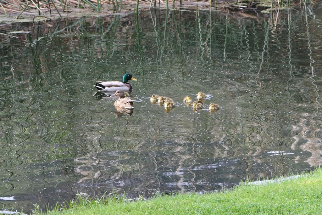 Duck family in the backyard pond.