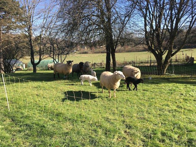 les moutons dans le jardin