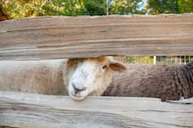 Opal and Onyx are the resident sheep