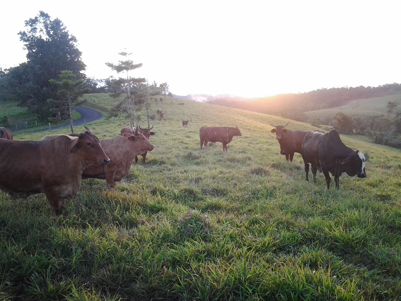View from near the house. Happy cows graze in green paddocks. Experience life on a farm.