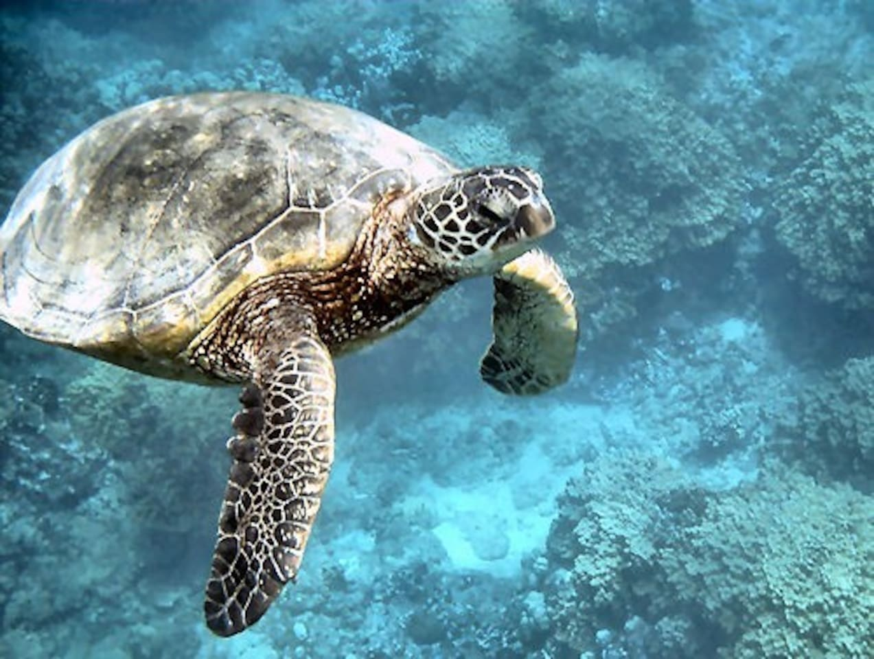 You will see Honu everyday!