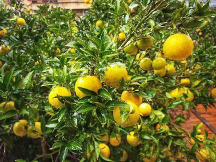 La corte delle arance