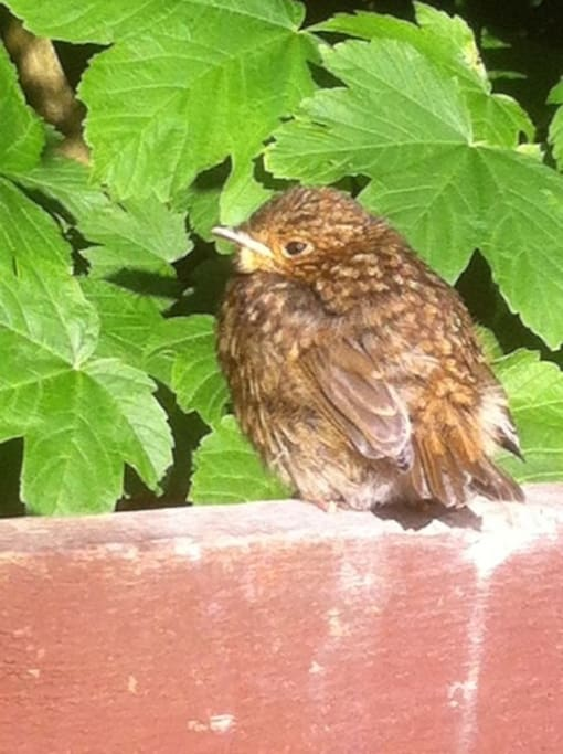 This is one of our nesting robins little chicks, she landed on my shoulder after taking this photo :)