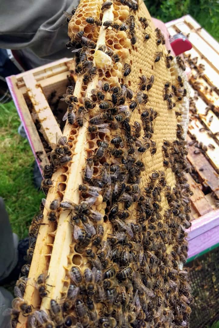 frame of brood and bees