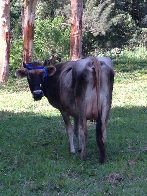 CLeo, the house cow.