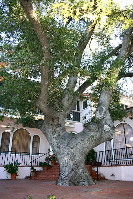 Large old oak tree in front yard.  There are about 35 oaks on the property.
