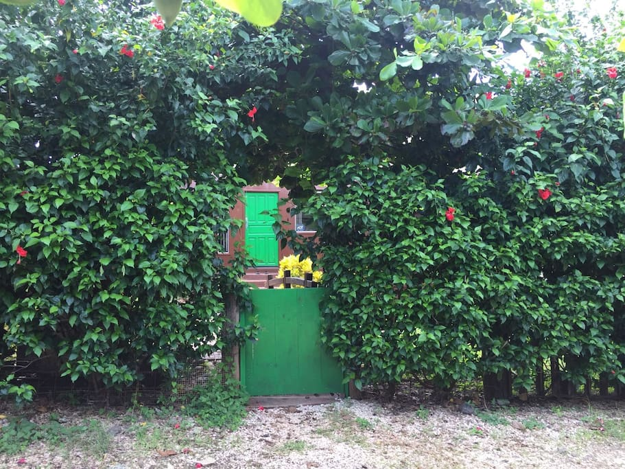 Verde!! Our beautiful front entrance, fenced with Hibiscus.