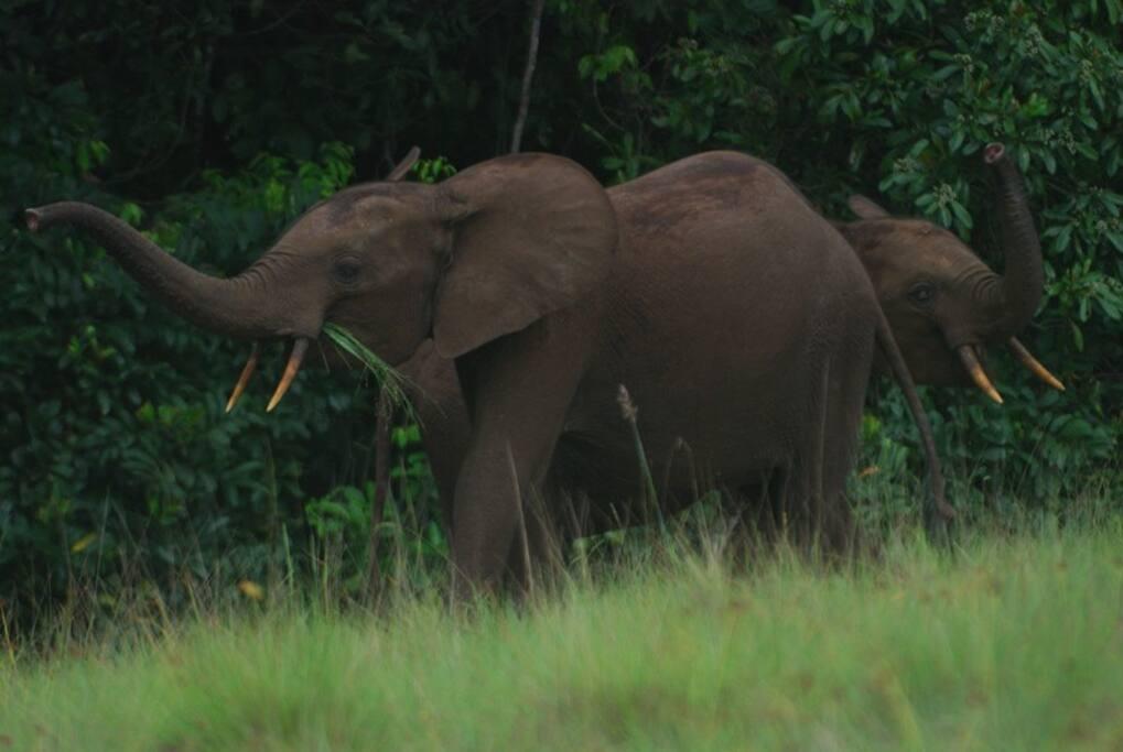 Éléphants de savane