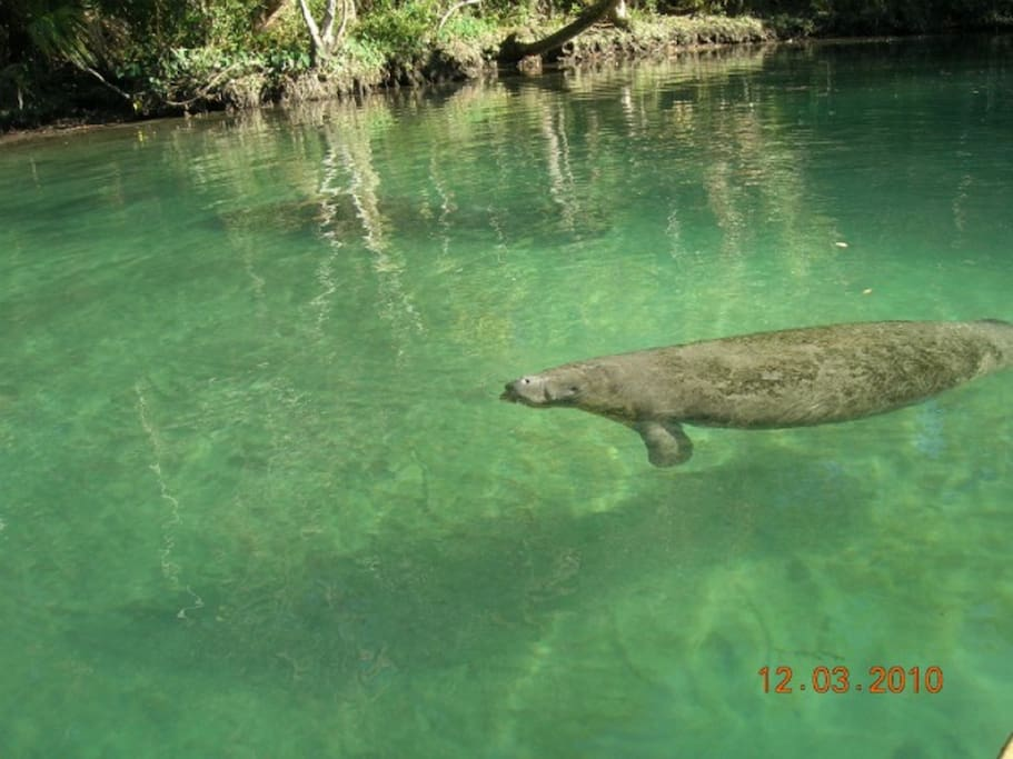 You will see manatees just like this swimming in the river, eating, playing and yes, the water is that clear.