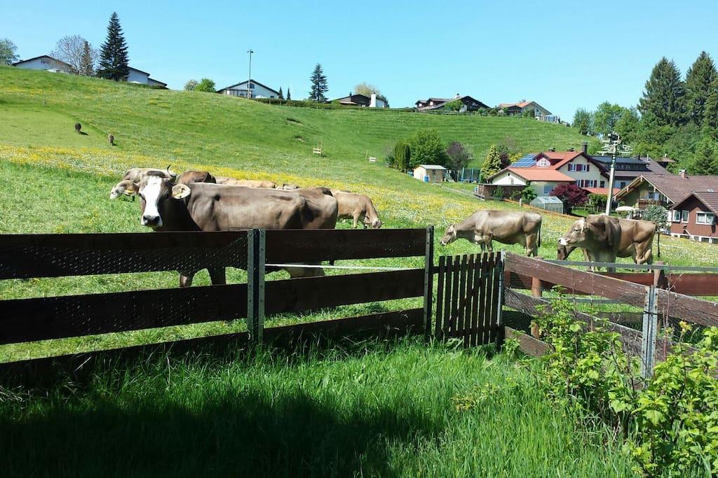 die Kühe am Gartenzaun