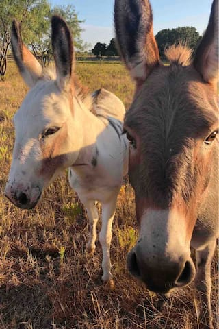 Two of our newest farm family. Meet Josie and Rosie, miniature donkeys why love a good petting!