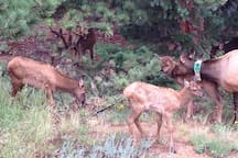Elk have their babies in late May to early June.  Be careful around the mommas at that time.