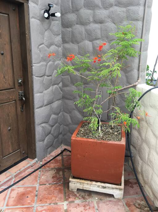 Mexican Bird of Paradise to welcome you to the front door