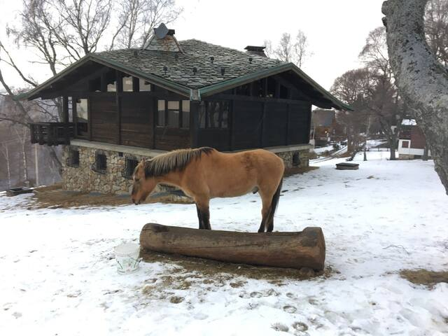 Il cavallo Bambi libero tra le betulle