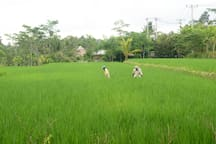 Rice field across the street.