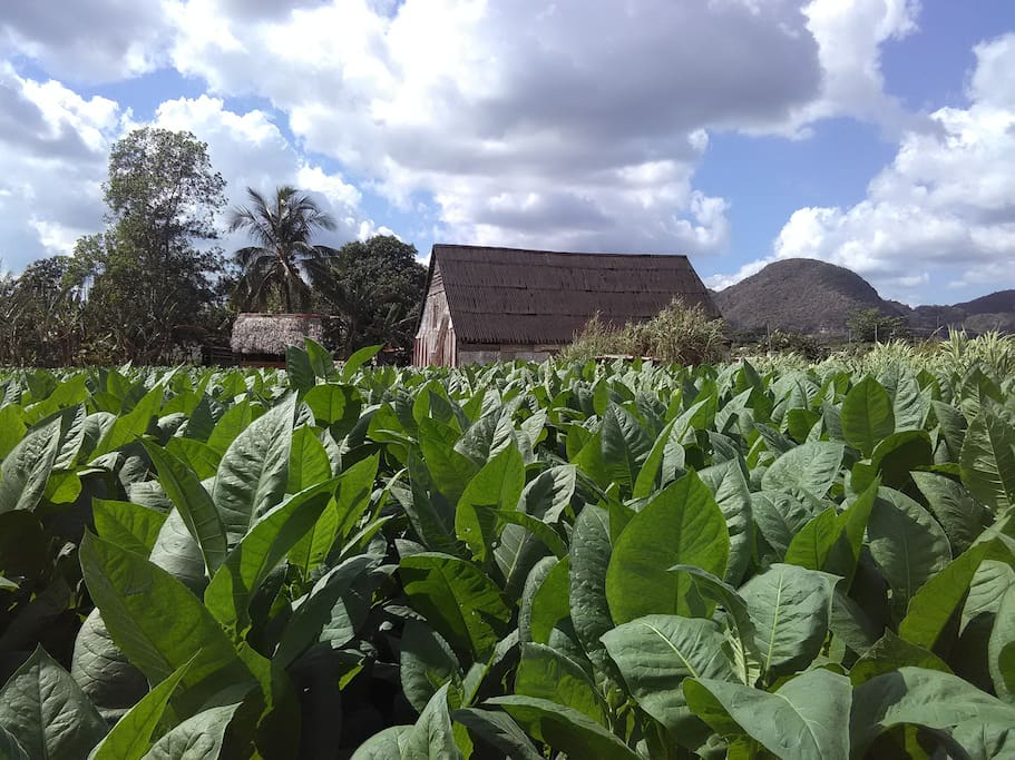 Plantacion de tabaco propiedad de la casa Sergio y Caridad