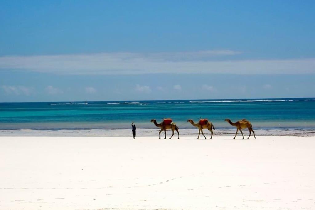 Local beach camels
