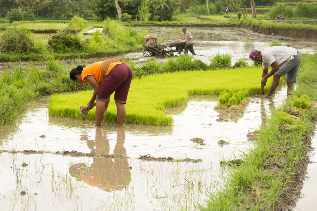 Unplag the rice seedlings to be planted