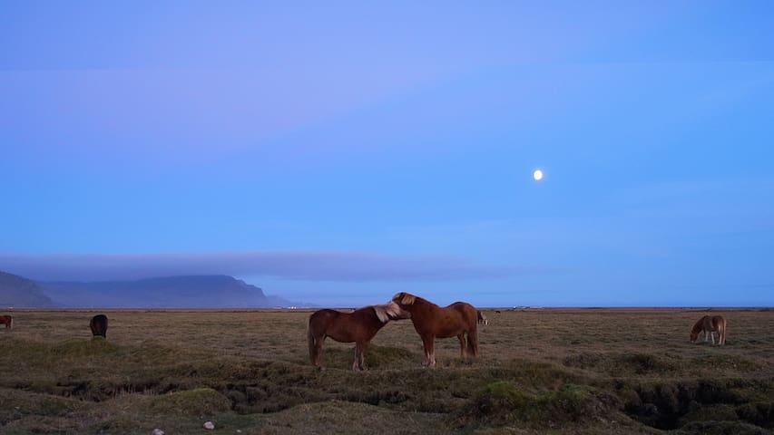 Icelandic horses - Photographer Yen Yen