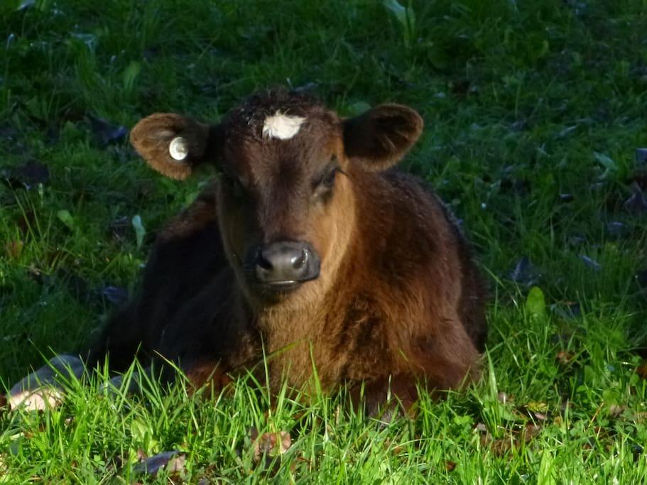 Cousin & Neighbour Chris Beautiful Dairy Calf - The Future Of Australian Milk