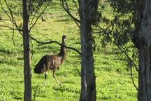 Emu are regular visitors from the Wilkin Flora & Fauna Reserve!