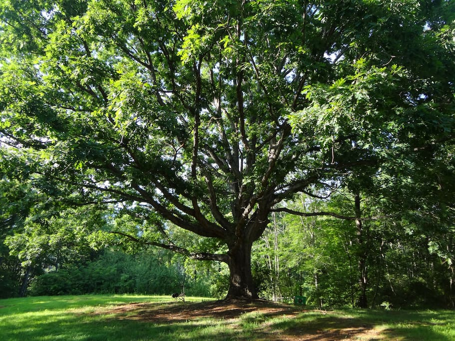 Your view of the 200+ year old white oak tree in front of cottage, from the deck.