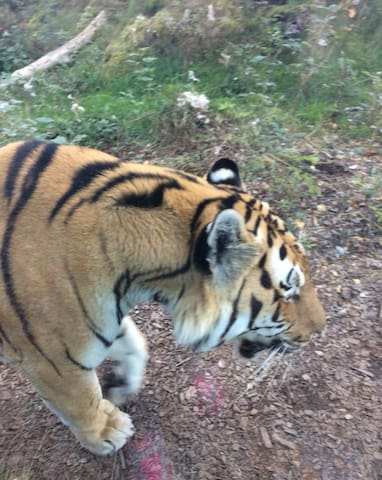 Tiger at Nordens Ark Zoo - 6 km from house