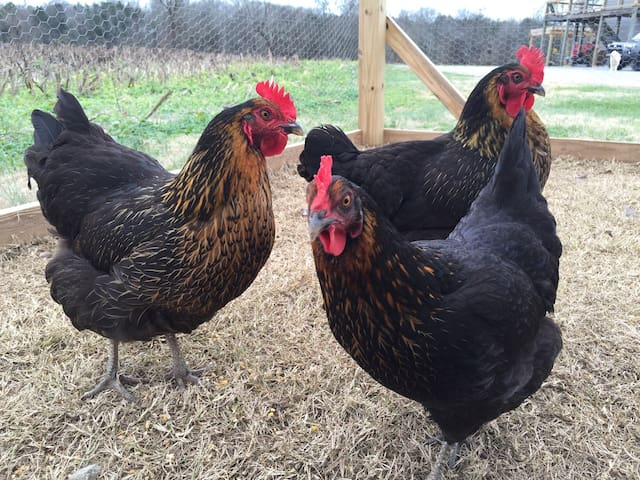 fresh eggs daily for you from our girls! pictured : Gypsy, Moon & Moose — Henrietta must have been laying ~~