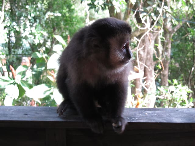 Filhote de Macaco prego
