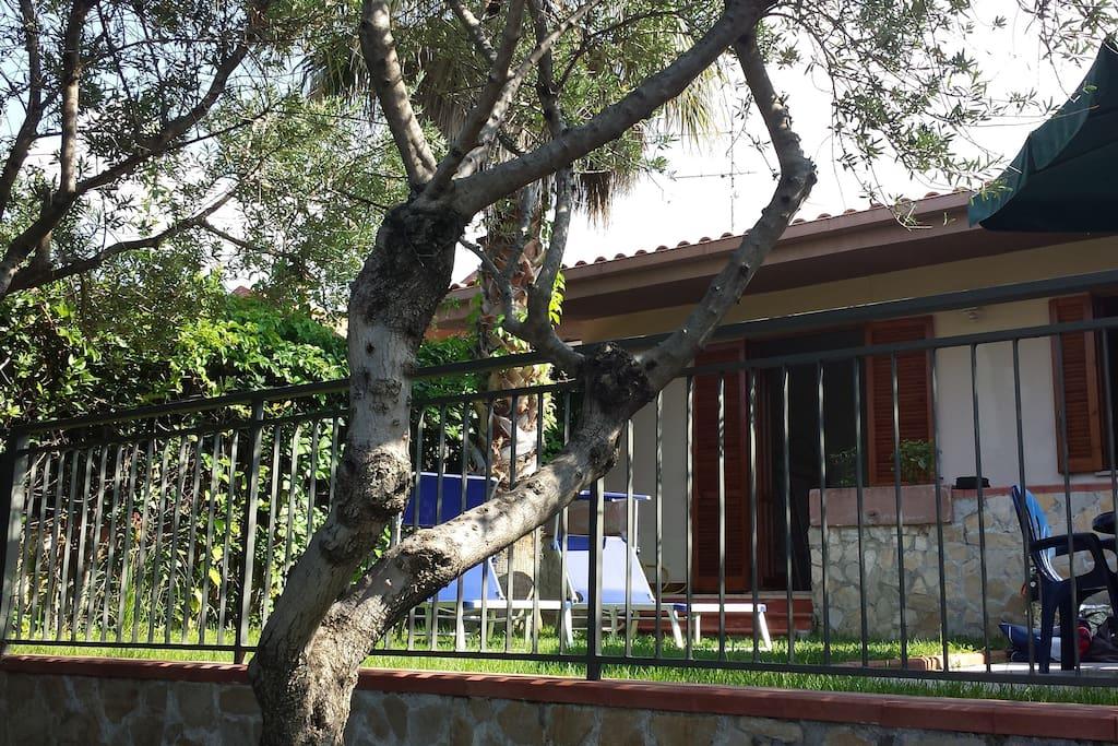 Olive tree in garden