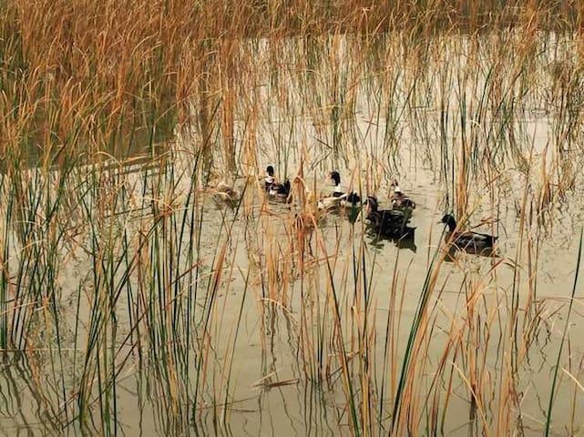鸭子和大白鹅在水里嬉戏。