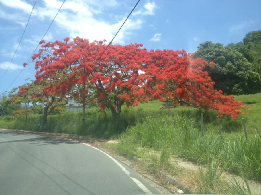Road to beach lined with Flamboyant  trees