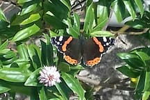 Spotted in the garden last week, Red Admiral Butterfly