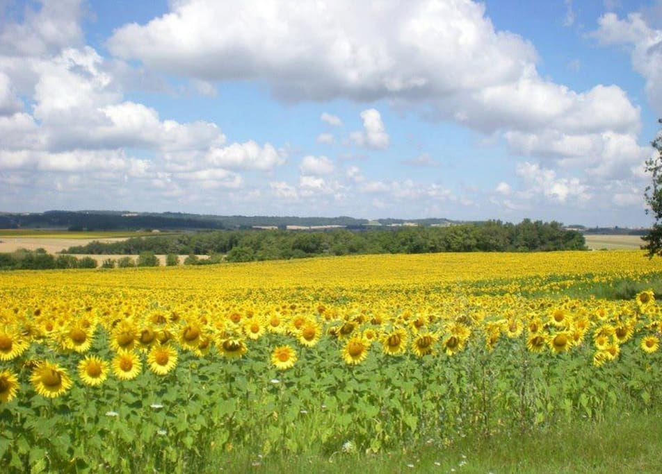 Bassinaud, surrounded by summer sunflowers