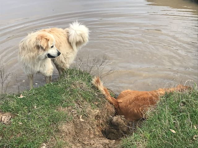 Jake and Duke cooling off in the pond