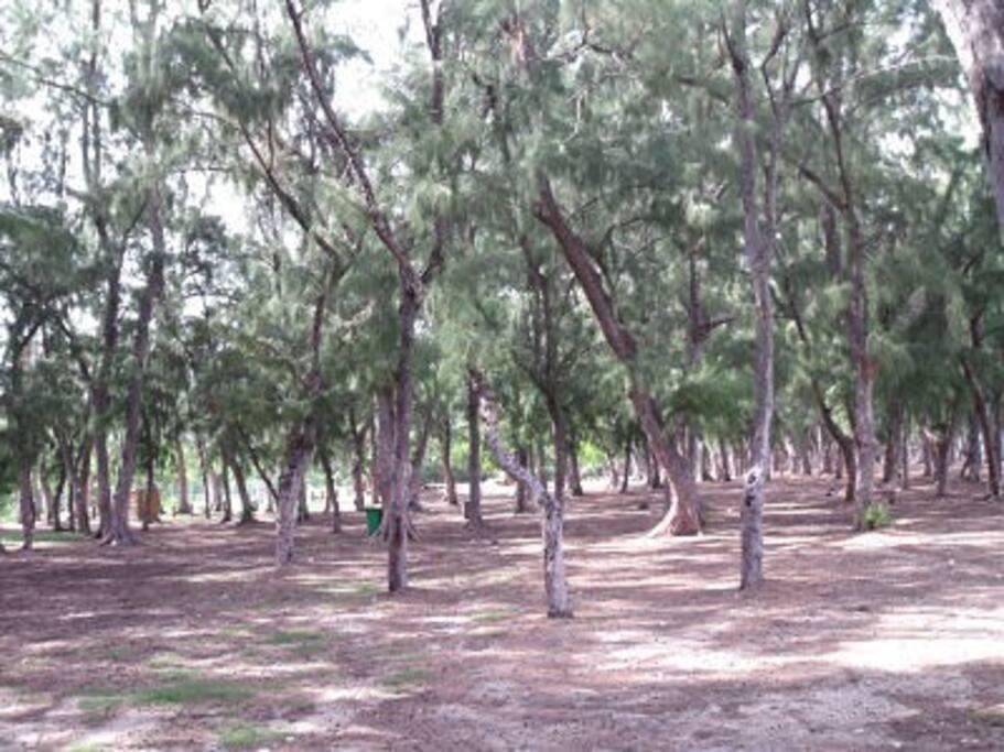 La forêt de filaos bordant le lagon.