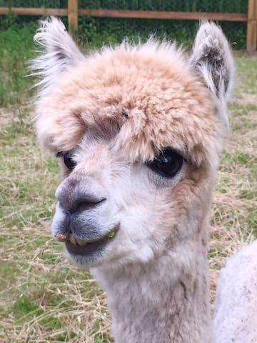 Merlin the cool alpaca.