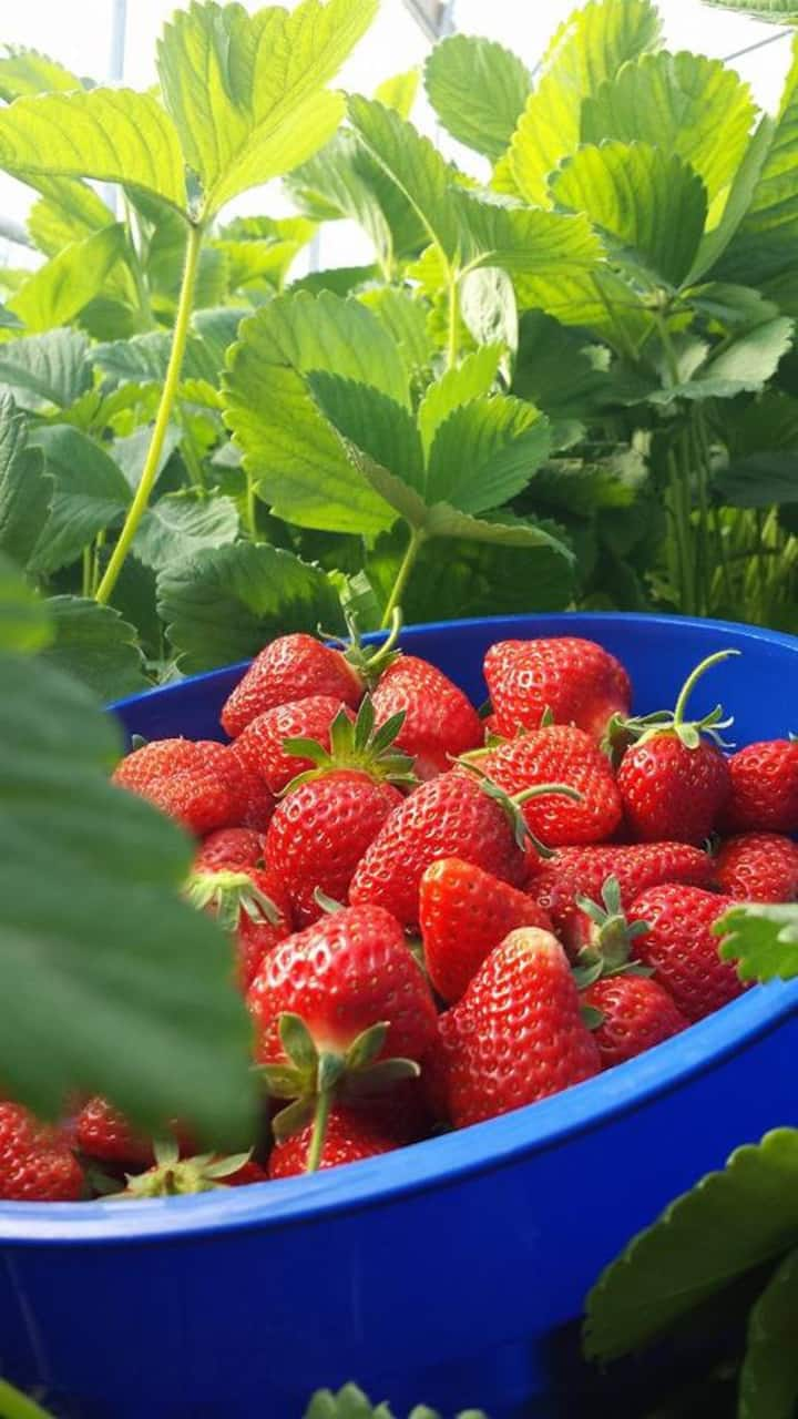 Early strawberries from the high tunnel