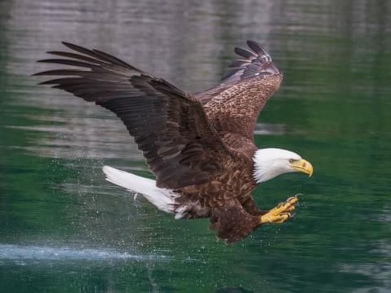 Watch our nesting pair of beautiful bald eagles fish in the crystal clear waters