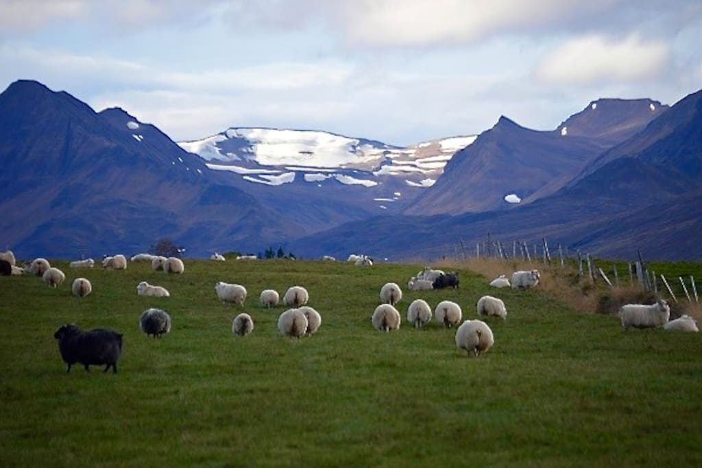 Sheeps, green gras, white mountains...   Photo: Kirsten Neumann